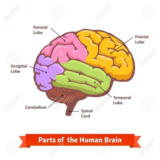 Colored And Labeled Human Brain Diagram  Flat Vector Illustration