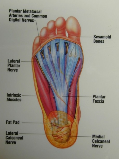 Anatomy Of The Foot Bottom Anatomy Of The Bottom Of The Foot Human