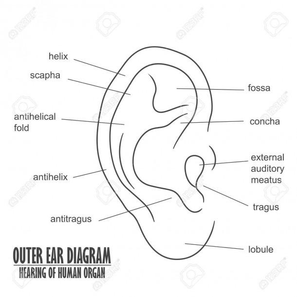Outer Ear Diagram Hearing Of Human Organ Royalty Free Cliparts