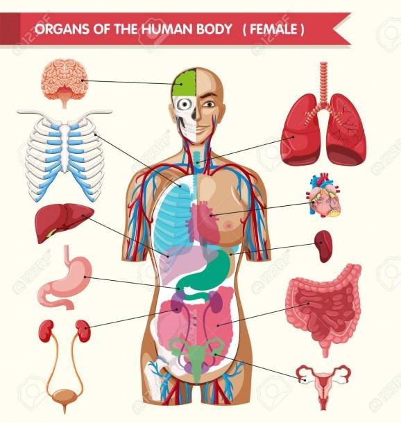 Organs Of The Human Body Diagram Illustration Royalty Free
