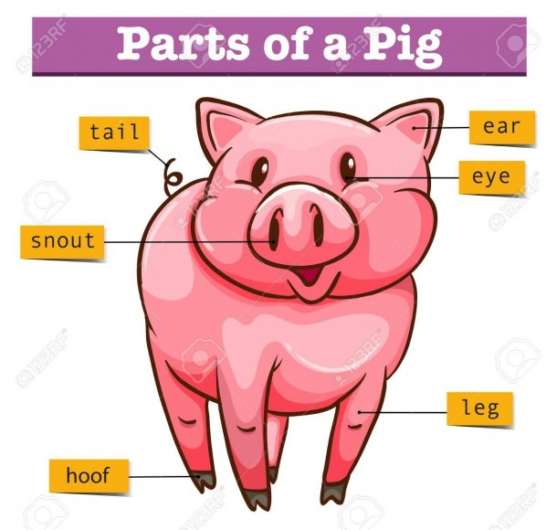 Diagram Showing Parts Of Pig Illustration Royalty Free Cliparts