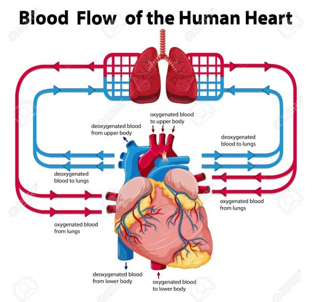 Diagram Showing Blood Flow Of Human Heart Illustration Royalty