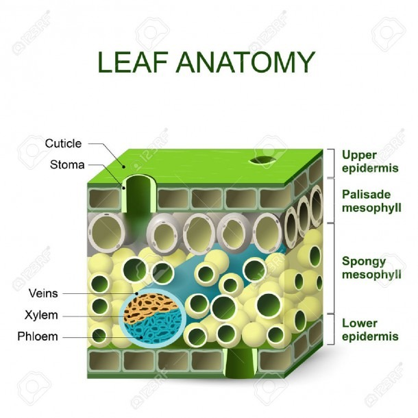 Leaf Anatomy  Diagram Of Leaf Structure Royalty Free Cliparts