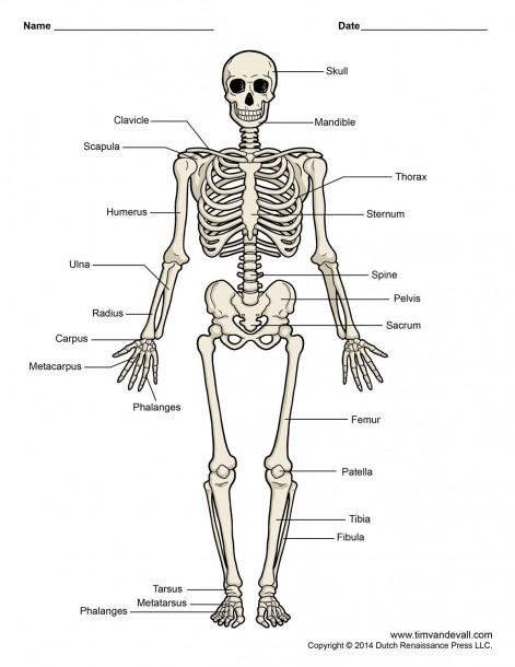 Diagram Of Human Skeleton Labeled Printable Human Skeleton Diagram