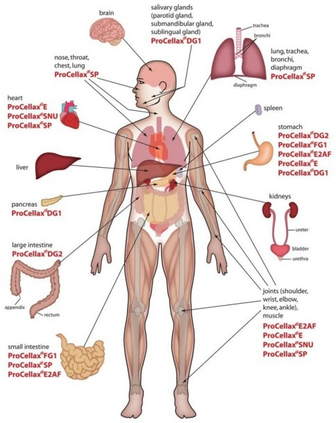 Human Organ Anatomy