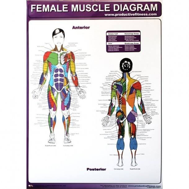 Amazon Com   Productive Fitness Poster Series Female Muscle