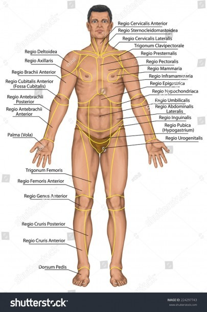 Body Regions Anatomy