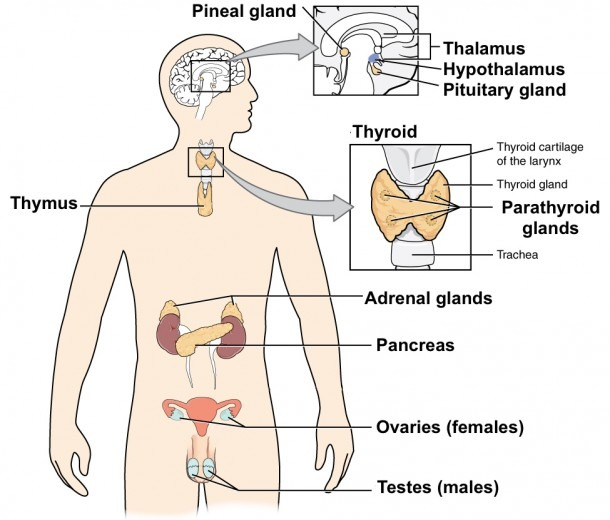 The Nervous And Endocrine Systems Review (article)