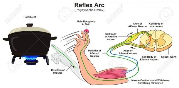 Reflex Arc Infographic Diagram With Example Of Polysynaptic Reflex
