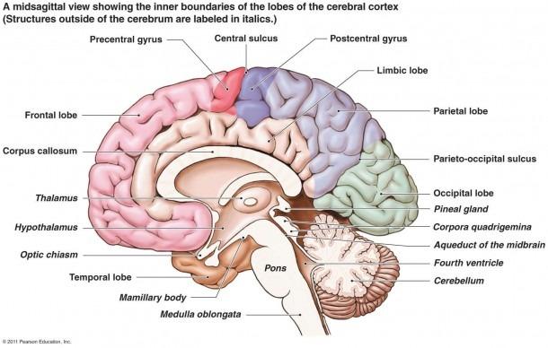 Detailed Brain Diagram Awesome Detailed Brain Anatomy