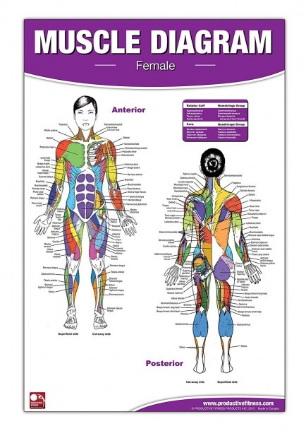 Amazon Com   Female Muscle Diagram Laminated Poster   Chart