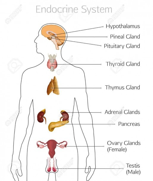Male Endocrine System  Human Anatomy  Human Silhouette With