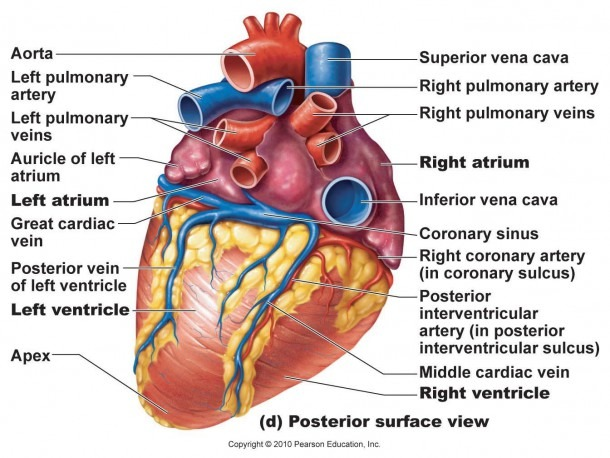 Heart Posterior Artery & Veins