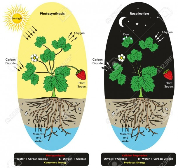 Photosynthesis And Cellular Respiration Process Of Plant During