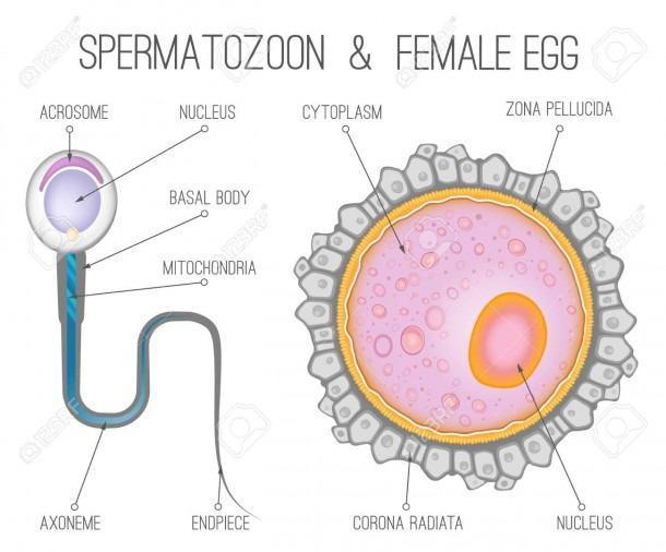 Diagrams Of Eggs