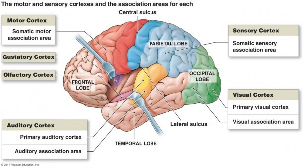Free Brain Diagram, Download Free Clip Art, Free Clip Art On