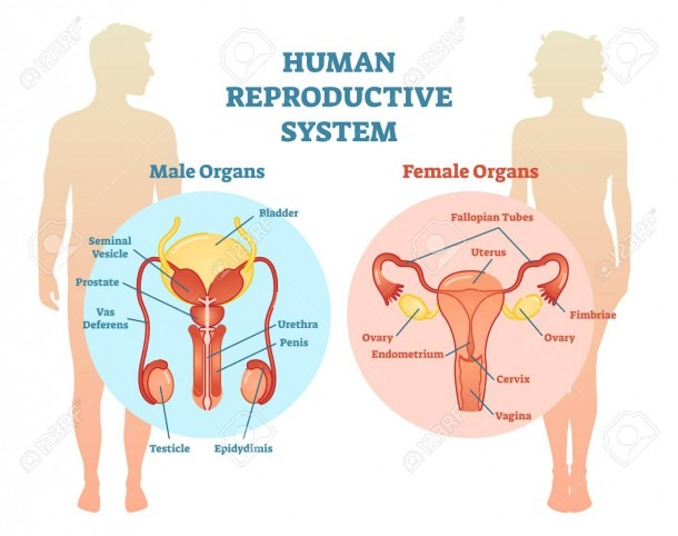 Human Reproductive System Vector Illustration Diagram, Male And
