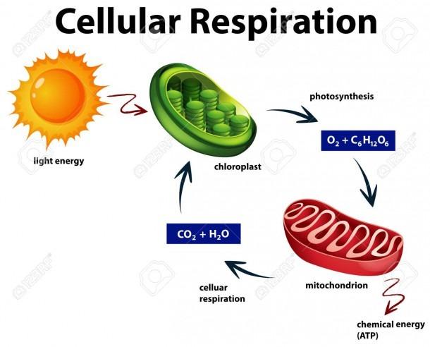 Diagram Showing Cellular Respiration Illustration Royalty Free