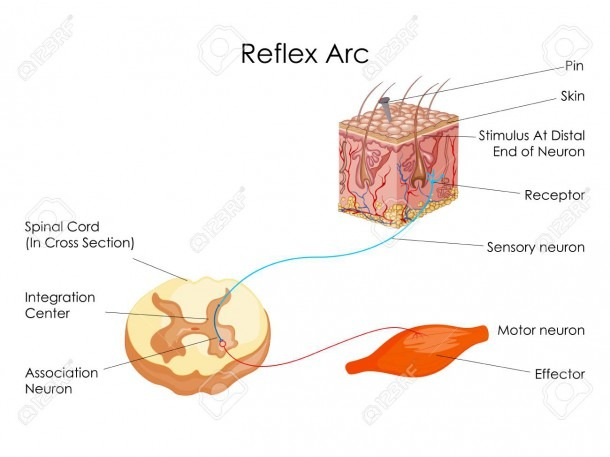 Education Chart Of Biology For Reflex Arc Diagram Stock Photo