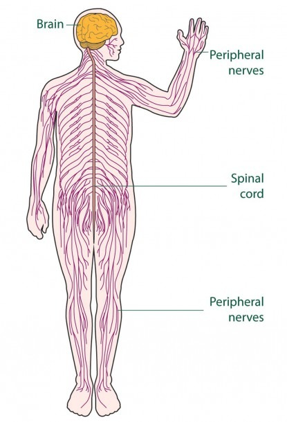 Diagram Of The Nervous System For Kids