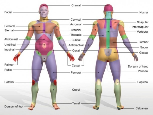 Anatomical Body Regions Human Body Regions Diagram