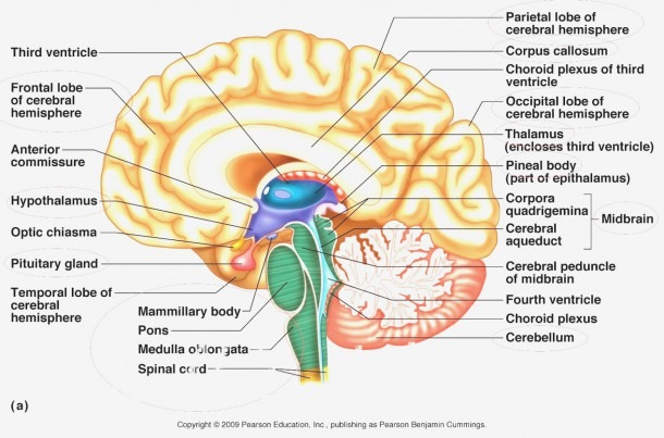 Anatomy Brain Labeling Game Anterior Commissure Gallery Human