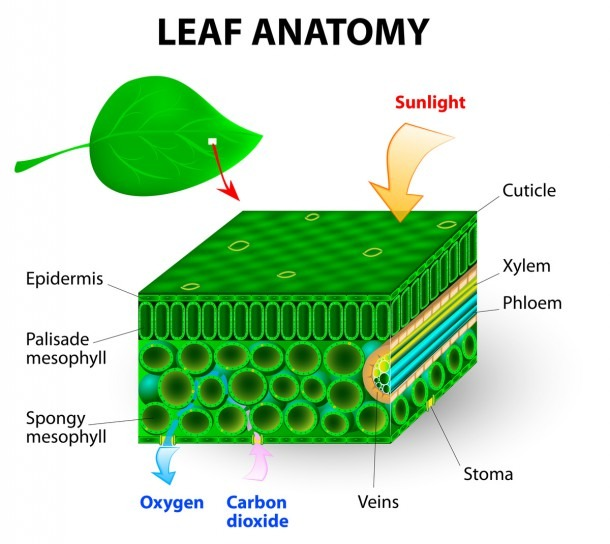 Food Leaf Diagram