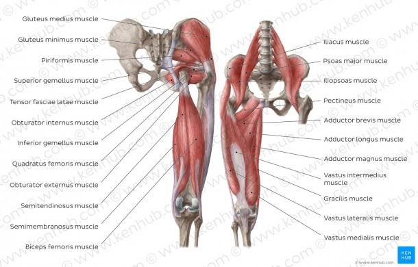 Anterior Hip Muscles And Diagram   Pictures  Muscles Of The Hip