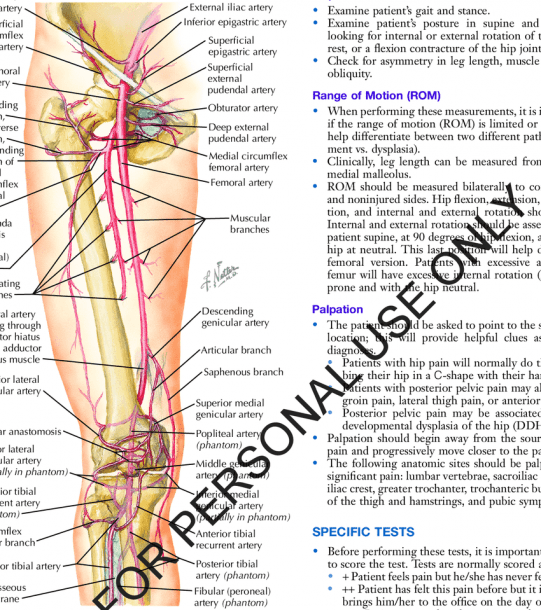 5  Arteries Of The Hip, Pelvis, And Thigh
