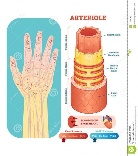 Arteriole Anatomical Vector Illustration Cross Section