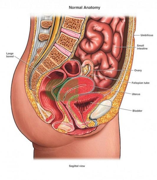 Female Human Anatomy Abdomen