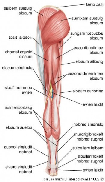 Back Thigh Muscle Name