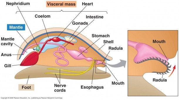 Image Gallery Mollusk Diagram