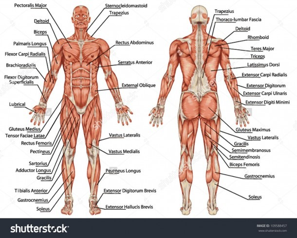Image Result For Muscle Diagram Of Male Body