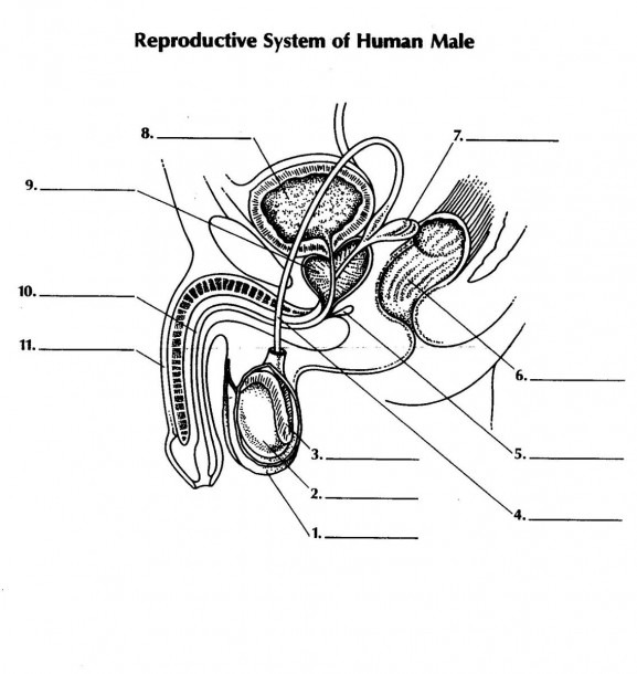 Think Science » Male Reproductive System Diagrams