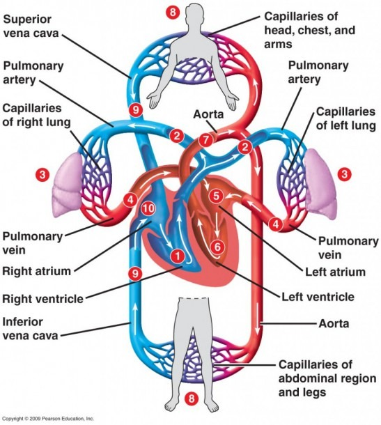 Heart Blood Flow Chart – Indaye