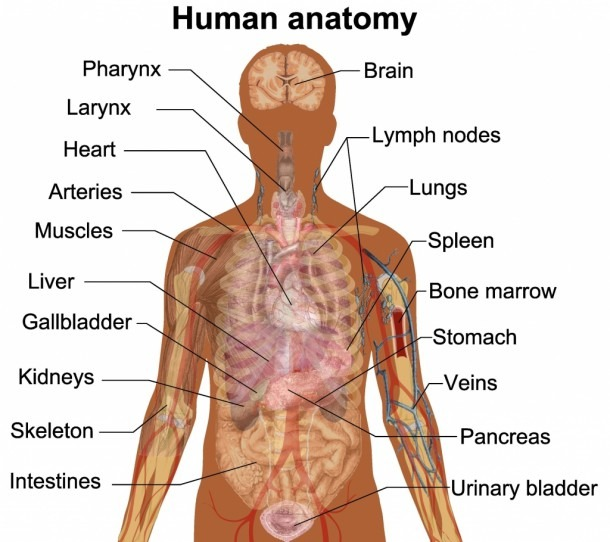 Inside Body Anatomy