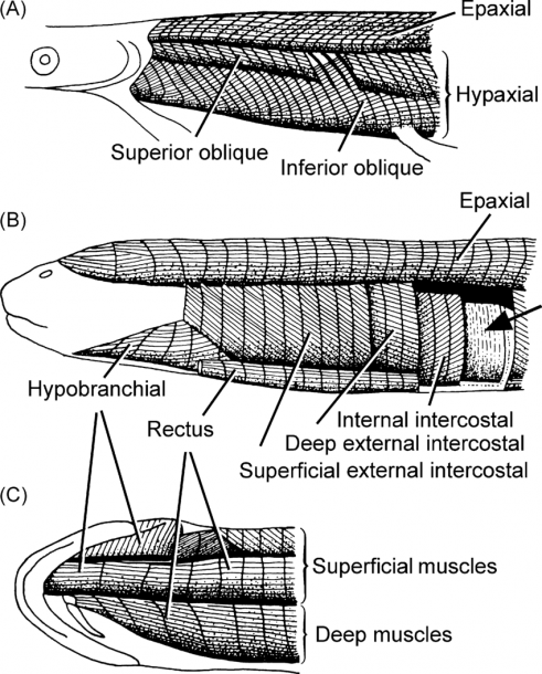 Body Wall Muscles In The Basal Bony Fish Lepisosteus (a) And The