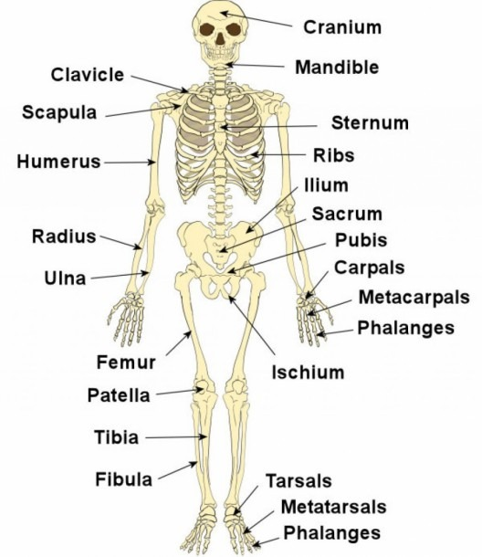Legs Bones Diagram