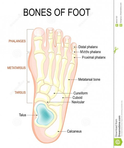 Bones Of Foot Stock Vector  Illustration Of Healthy, Bones