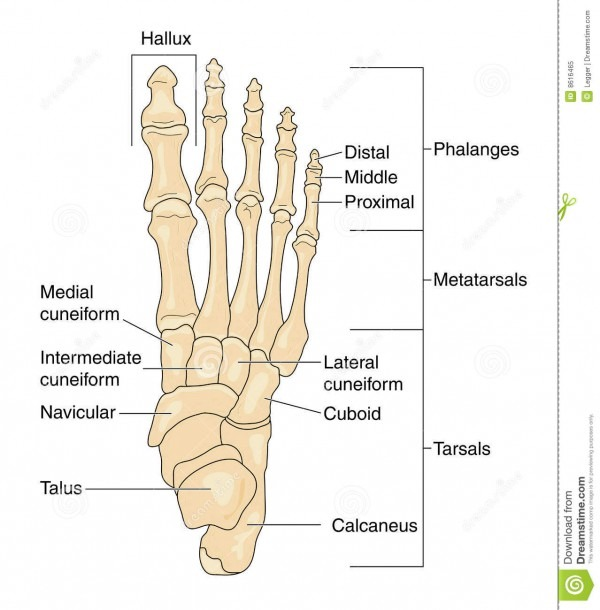 Bones Of The Foot, Labeled Stock Vector  Illustration Of Phalanges