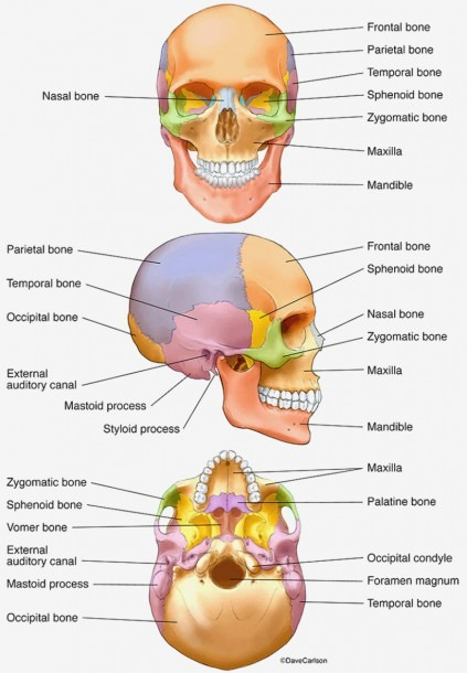 Skull Diagram Blank Frontal Images Labeled