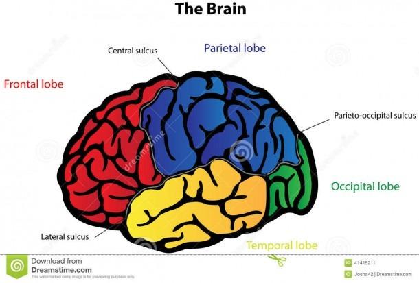 Brain Anatomy Labeled Diagram Stock Vector