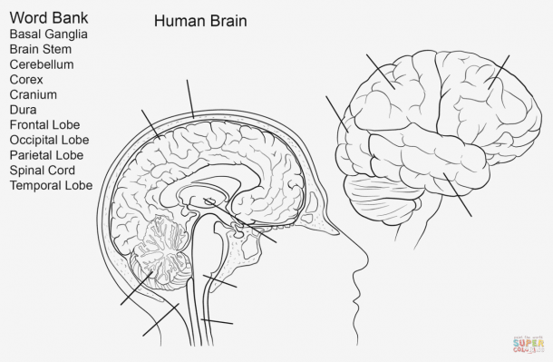 Brain Diagram To Label Anatomicaly Magnificent Labeling Quiz