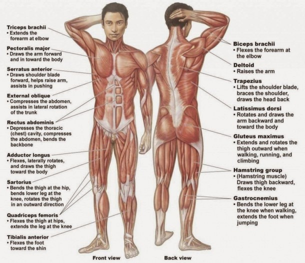 Male Human Anatomy Diagram