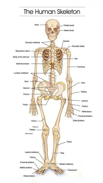 Detailed Human Skeleton Diagrams
