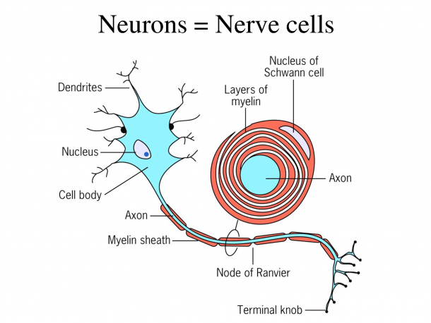 Neurons Or Nerve Cells