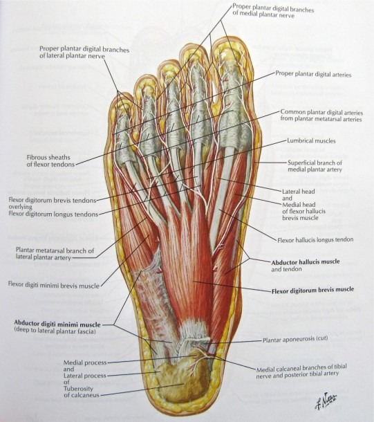 Foot Nerves Anatomy Pictures  Diagram Of Nerves In Foot, – Human