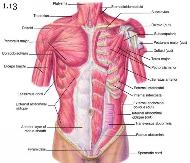 Chest Anatomy Muscles And Gallery  Diagram Of Chest Muscles