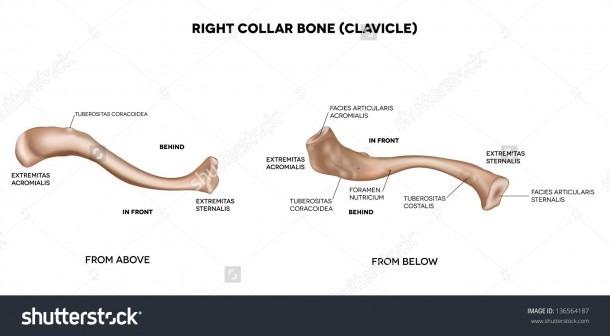 Collar Bone Anatomy Diagram And Anatomy Of The Clavicle Bone